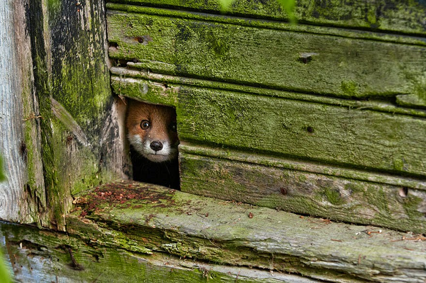 These 22 Photos Will Make You Fall In Love With Foxes (1)