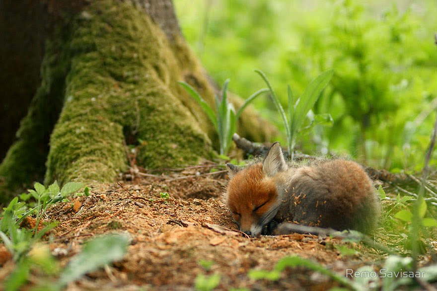 These 22 Photos Will Make You Fall In Love With Foxes (11)