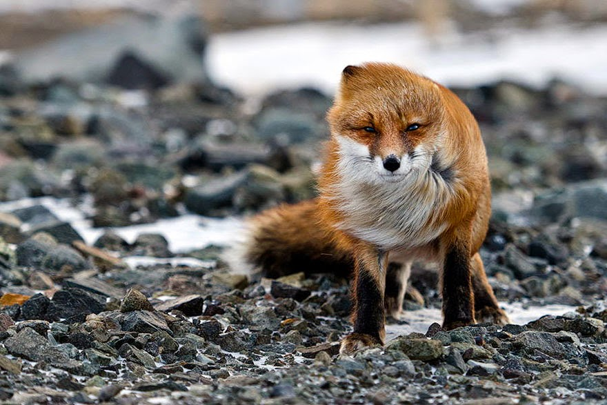 These 22 Photos Will Make You Fall In Love With Foxes (15)