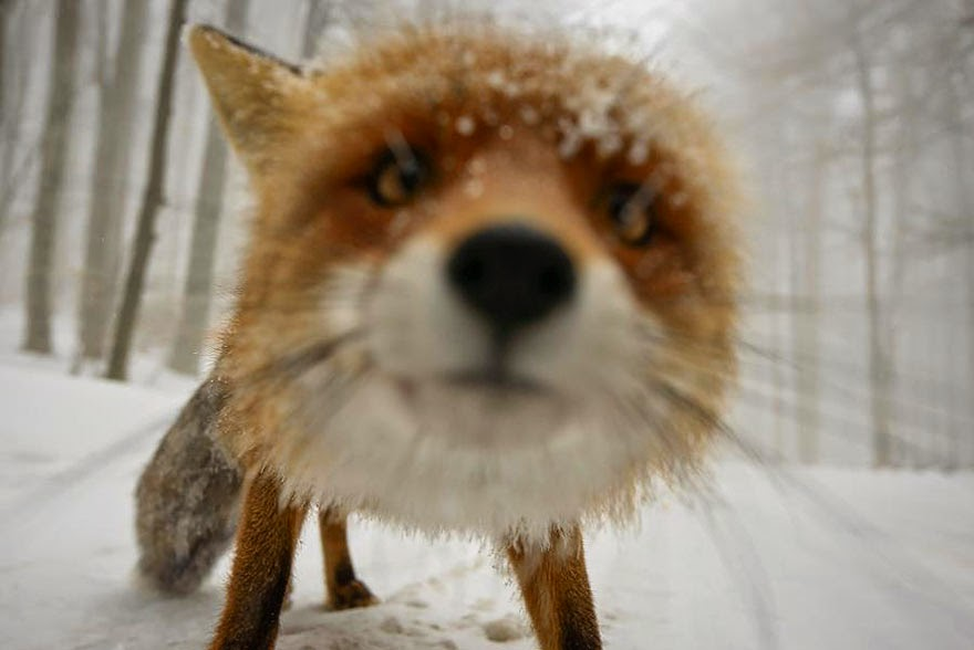 These 22 Photos Will Make You Fall In Love With Foxes (17)