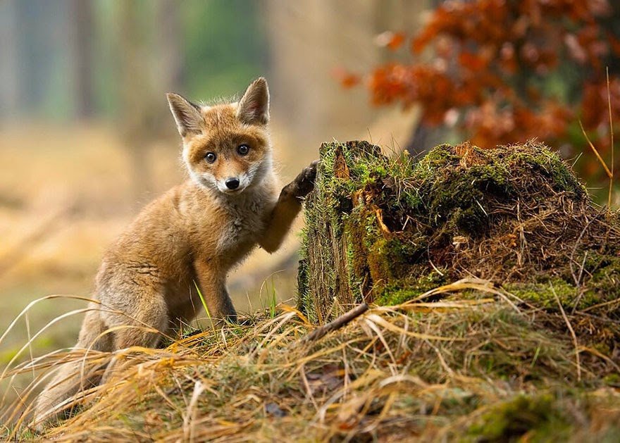 These 22 Photos Will Make You Fall In Love With Foxes (18)
