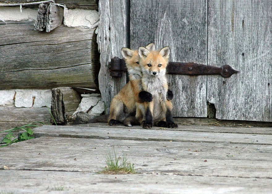 These 22 Photos Will Make You Fall In Love With Foxes (3)
