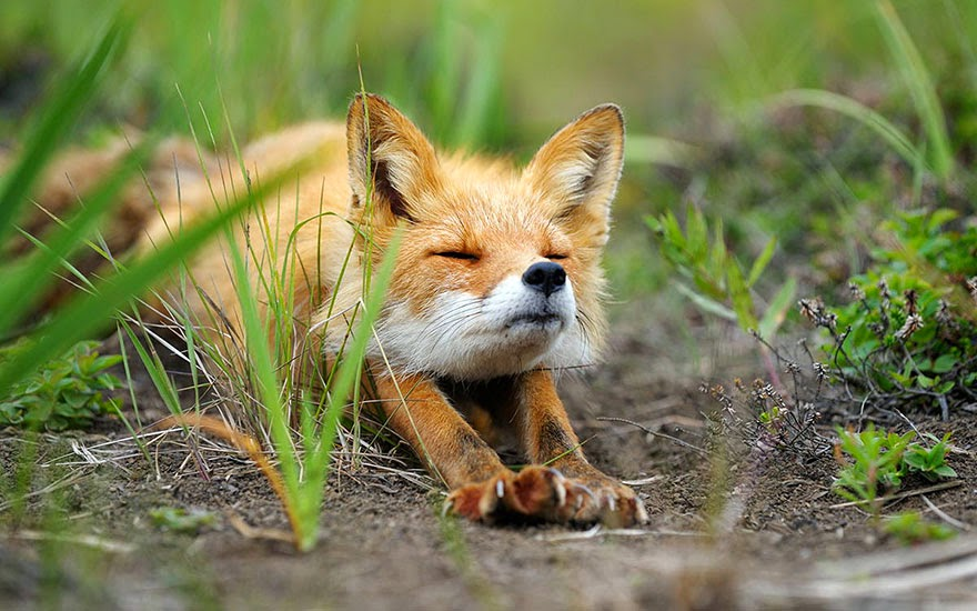 These 22 Photos Will Make You Fall In Love With Foxes (4)