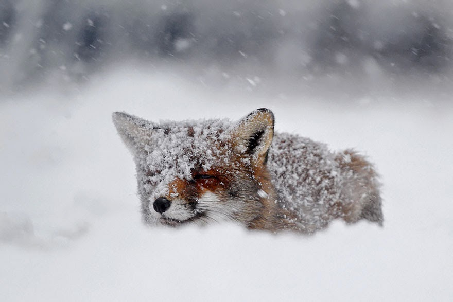 These 22 Photos Will Make You Fall In Love With Foxes (6)