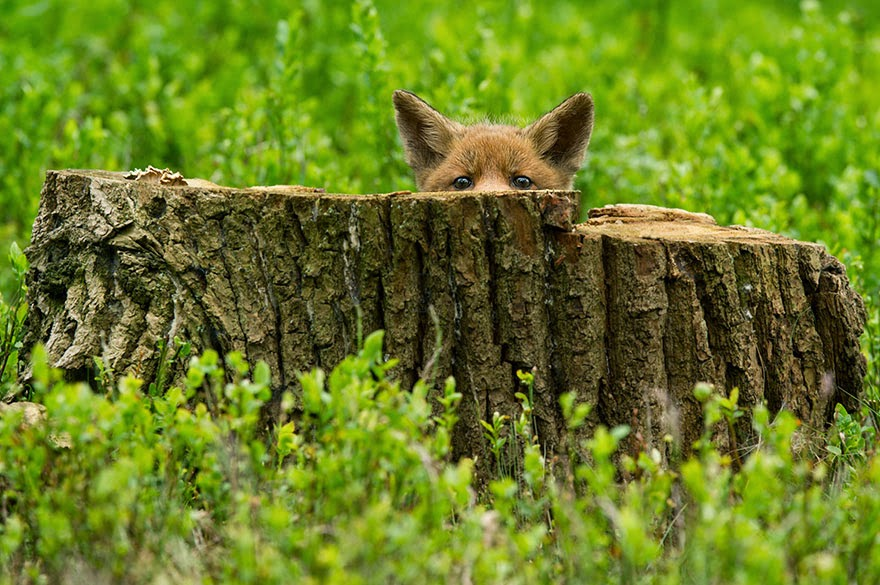 These 22 Photos Will Make You Fall In Love With Foxes (7)