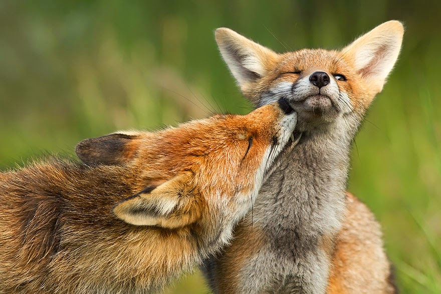 These 22 Photos Will Make You Fall In Love With Foxes (9)